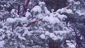Pine branches covered with white snow on background of a winter forest, winter landscape stock footage