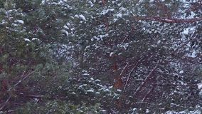 Pine branches covered with white snow, swaying in the wind. Pine branches covered with white snow, swaying in wind stock video footage
