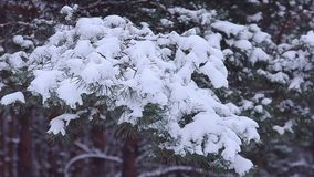 Pine branches covered with white snow, swaying in the wind, winter forest stock video footage