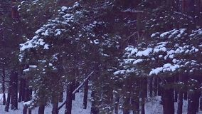 Pine branches covered with white snow, swaying in wind, winter forest in the evening stock video