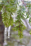 Pine Branches Encased in Ice Royalty Free Stock Image