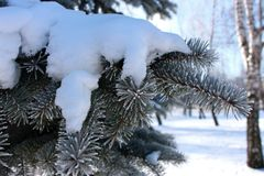 Pine branches with evergreen needles in hoarfrost under snow. Winter forest landscape. Frozen coniferous trees. Stock Photos