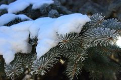 Pine branches with evergreen needles in hoarfrost under snow. Winter forest landscape. Frozen coniferous trees. Royalty Free Stock Image