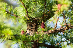 Pine branches with female and male cones Royalty Free Stock Images