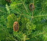 Pine branches with fir-cone. Royalty Free Stock Photography