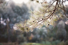 Pine branches in forest Royalty Free Stock Photo