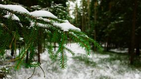 Pine branches in the forest stock images