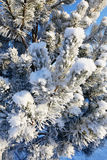 Pine branches in the frost Stock Image