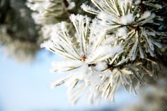 Pine branches in the frost
