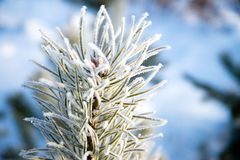 Pine branches in the frost stock photo