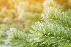 Pine branches in the frost Royalty Free Stock Image