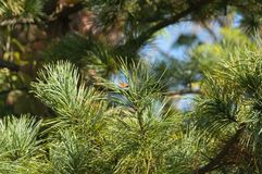 Pine branches in green against a blue sky with needles stock images