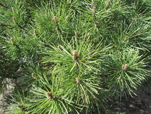 Pine branches. Of green color close-up for background stock photo