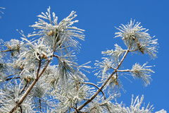 Pine branches with hoarfrost Royalty Free Stock Photos