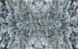 Pine branches with hoarfrost Stock Images