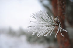 Pine branches with ice and snow, winter nature background stock photography