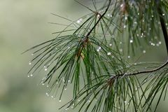 Free Pine Branches In The Rain Royalty Free Stock Photos - 126579148