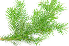 Pine branches isolated Royalty Free Stock Image