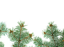 Pine branches isolated christmas background Stock Photography