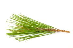 Pine branches. Royalty Free Stock Photography