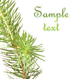 Pine branches. Isolated on white background Stock Image