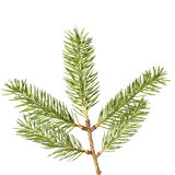 Pine branches isolated. On white background Stock Image