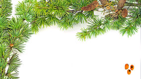 Pine branches. Isolated on white background Stock Photo