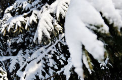 Pine branches loaded after heavy snowfall Stock Photography
