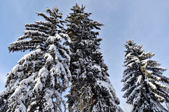 Pine branches loaded after heavy snowfall Stock Photo