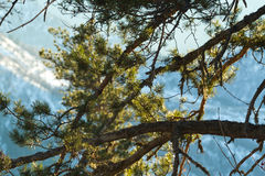 Pine branches mountains Royalty Free Stock Images