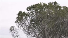 Pine branches moved by the wind. In a cold winter day stock video footage