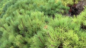 Pine branches are moving in the wind stock footage