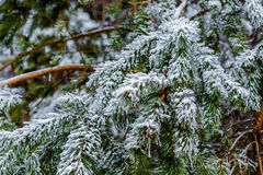 Pine branches, needles covered with frost. Royalty Free Stock Image