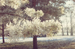 Pine branches with needles covered with snow Stock Image