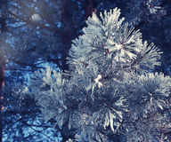 Pine branches with needles covered with snow Stock Photos