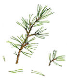 Pine branches  and needles Royalty Free Stock Image