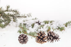 Pine branches with pine cones Royalty Free Stock Photography
