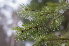Pine branches with raindrops Royalty Free Stock Photos