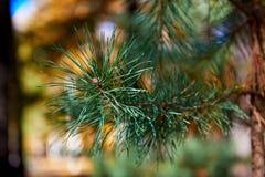 Pine branches Stock Photos