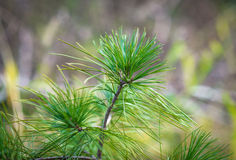 Pine branches. Royalty Free Stock Image