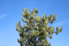 Pine branches on a sky background Stock Image