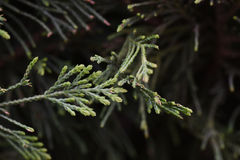 Pine branches. Small green branches of pine garden Stock Image