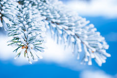 Pine branches in the snow Royalty Free Stock Photography