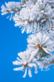 Pine branches in the snow Stock Images