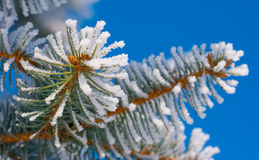 Pine branches in the snow Royalty Free Stock Photos