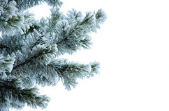 Pine branches in a snow Royalty Free Stock Photo