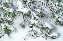 Pine branches on the snow Stock Photography