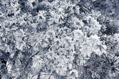 Pine branches in the snow. Pine in the winter. Winter background royalty free stock photography