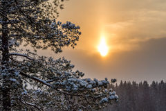 Pine branches in the snow Royalty Free Stock Photo