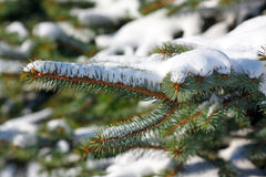 Pine branches in snow Royalty Free Stock Photo
